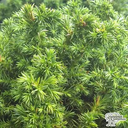 Buy Cryptomeria japonica 'Vilmoriniana' dwarf conifer online from Jacksons Nurseries.