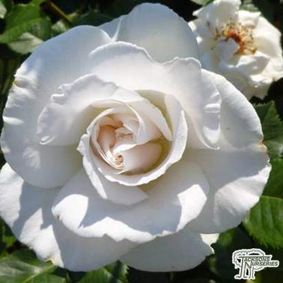Buy Rosa 'Blanche Double de Coubert' (RU) online from Jacksons Nurseries.