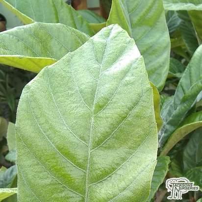 Buy Loquat 'Eriobotrya japonica' online from Jacksons Nurseries