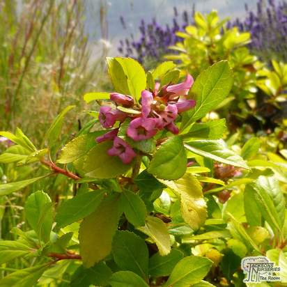 Buy Escallonia laevis Gold Brian online from Jacksons Nurseries