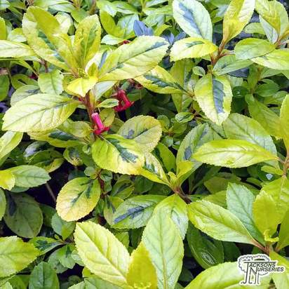 Buy Escallonia laevis Gold Ellen online from Jacksons Nurseries.