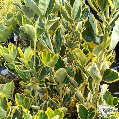 Buy Euonymus japonicus 'Aureus'  (Japanese spindle) online from Jacksons Nurseries.