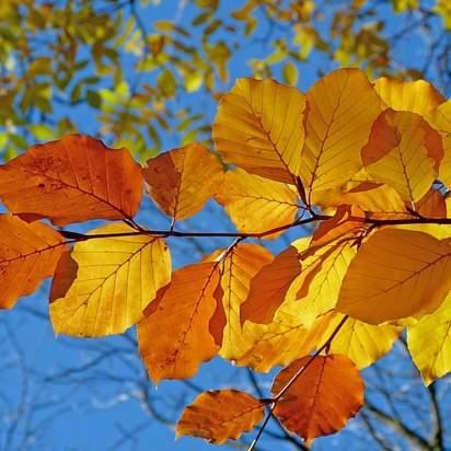 Fagus sylvatica bare root autumn colour
