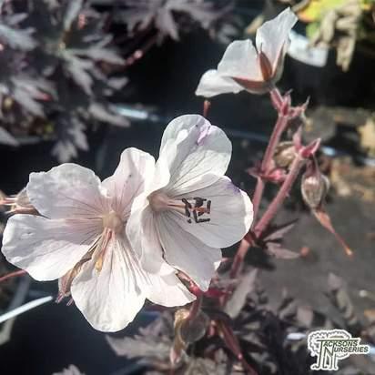 Buy Geranium pratense Purple Ghost online from Jacksons Nurseries.