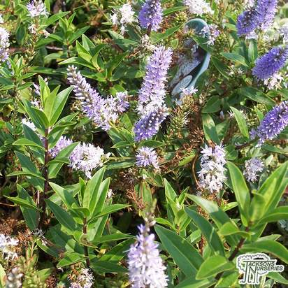 Buy Hebe Sapphire (Shrubby Veronica) online from Jacksons Nurseries