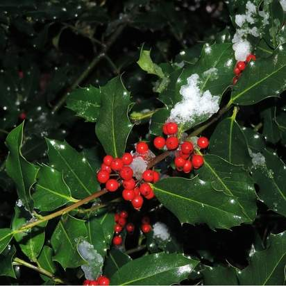 Buy common holly hedging