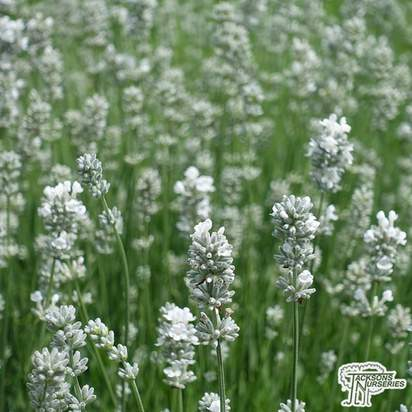 Buy Lavandula angustifolia Alba (Lavender) online from Jacksons Nurseries