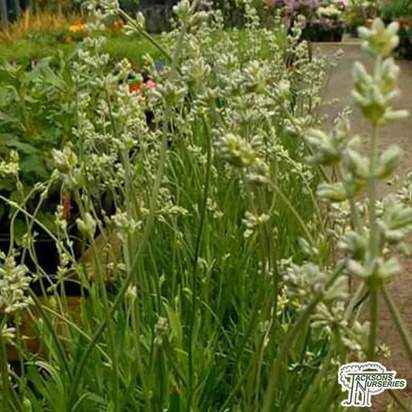 Buy Lavandula angustifolia Hidcote White (Lavender) online from Jacksons Nurseries.
