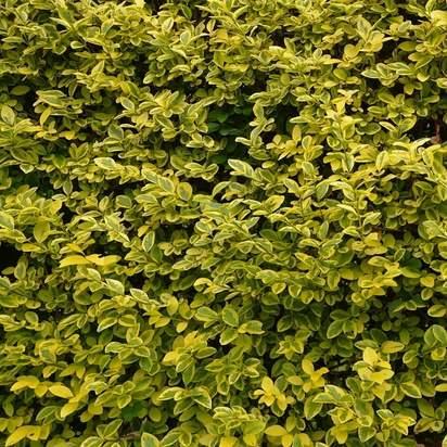Buy Ligustrum ovalifolium 'Aureum' Bare Root
