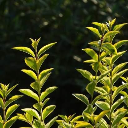 Ligustrum ovalifolium Aureum bare root foliage sky