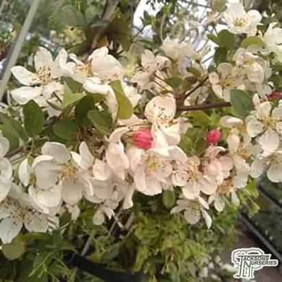 Buy Malus Evereste (Crab Apple) online from Jacksons Nurseries.