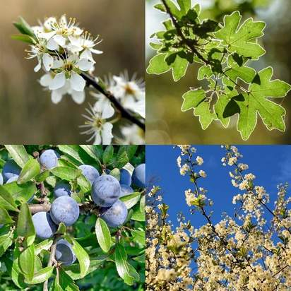 Buy Mixed Native Hedge Pack (Hawthorn Base) bare root