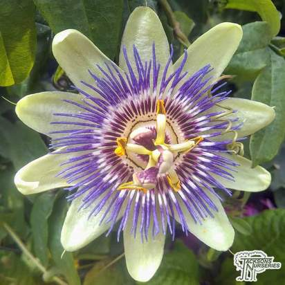 Buy Passiflora caerulea (Blue Passion Flower) online from Jacksons Nurseries.