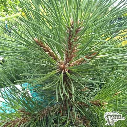Buy Pinus nigra nigra (Austrian pine, Black Pine) online from Jacksons Nurseries.
