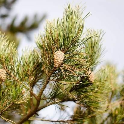 Pinus sylvestris bare root cones