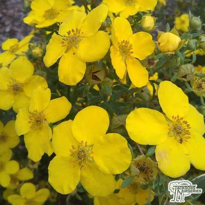 Buy Potentilla fruticosa Goldfinger (Cinquefoil) online from Jacksons Nurseries