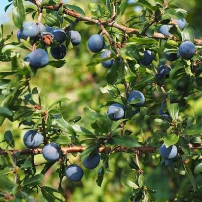 (Prunus spinosa bare root