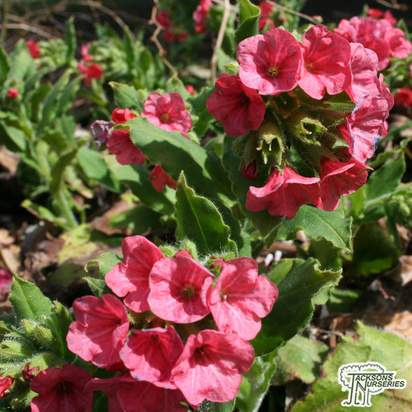 Buy Pulmonaria rubra (Lungwort) online from Jacksons Nurseries