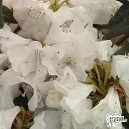 Buy Rhododendron egret Select (Dwarf Rhododendron) online from Jacksons Nurseries.