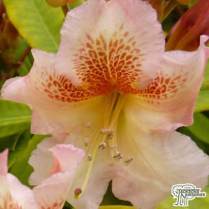 Buy Rhododendron Hybrid 'Viscy' online from Jacksons Nurseries