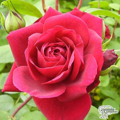 Buy Rosa 'Tess of the d'Urbervilles' (English Climbing Rose) in the UK