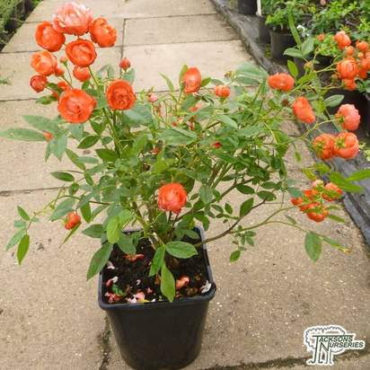Buy Rosa Mother's Day Orange  (Polyantha Shrub) online from Jacksons Nurseries.