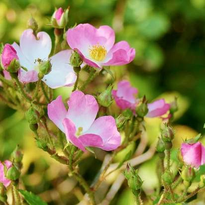 Rosa canina Base bare root 2 flowers