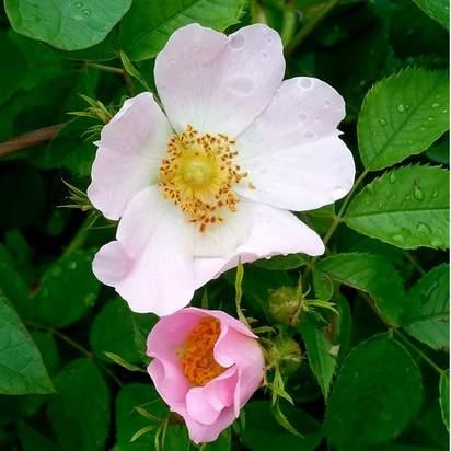 Rosa canina Base bare root 5 flower and foliage