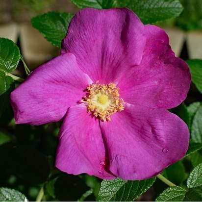 Rosa rugosa bare root