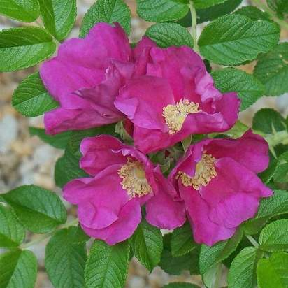 Rosa rugosa bare root 3 flower quartet