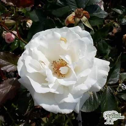 Buy Rosa White Flower Carpet (Groundcover Rose) online from Jacksons Nurseries