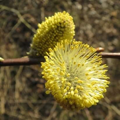 Salix caprea bare root 2