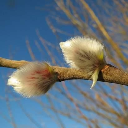 Salix caprea bare root 3