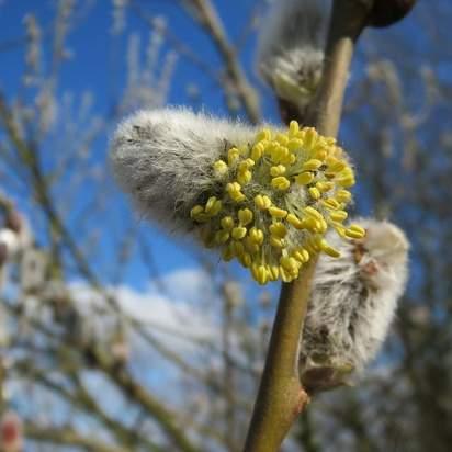 Salix caprea bare root 5