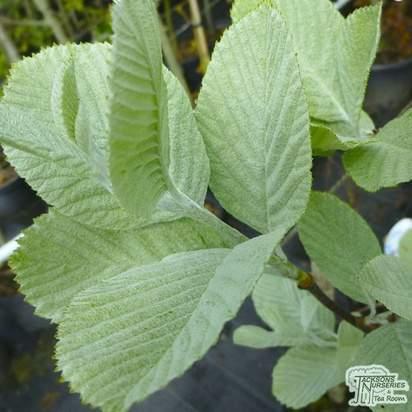 Buy Sorbus aria Bare Root