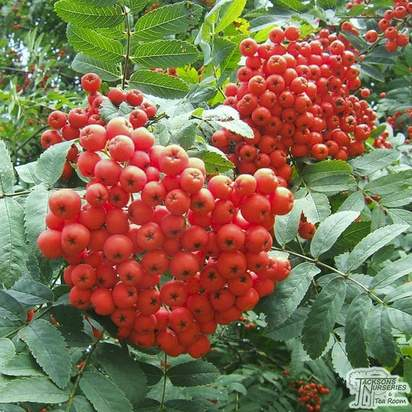 Buy Sorbus aucuparia Bare Root