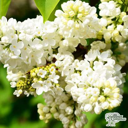 Buy Syringa vulgaris Primrose (Common Lilac) online from Jacksons Nurseries.