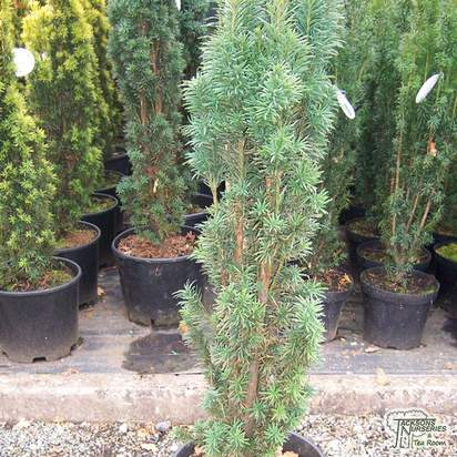 Buy Taxus baccata Fastigiata Robusta online from Jacksons Nurseries