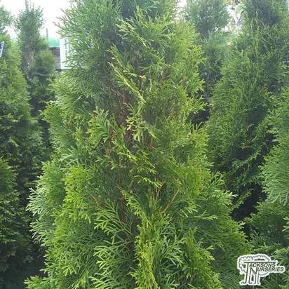 Buy Thuja occidentalis 'Holmstrup' online from Jacksons Nurseries.