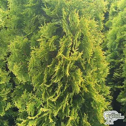 Buy Thuja occidentalis jantar (White Cedar) online from Jacksons Nurseries.