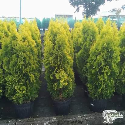 Buy Thuja occidentalis jantar (White Cedar) online from Jacksons Nurseries.