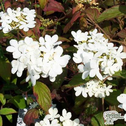 Buy Viburnum plicatum f. tomentosum Lanarth (Japanese snowball) online from Jacksons Nurseries