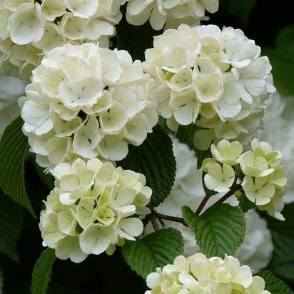 Buy Viburnum opulus Bare Root
