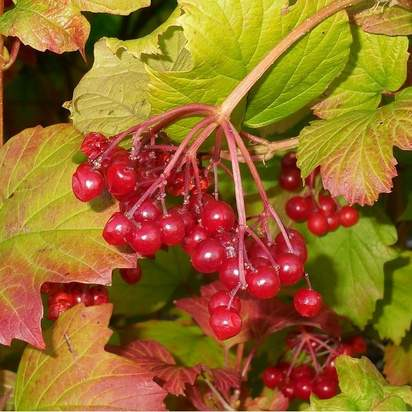 Viburnum opulus bare root 3 berries autumn foliage