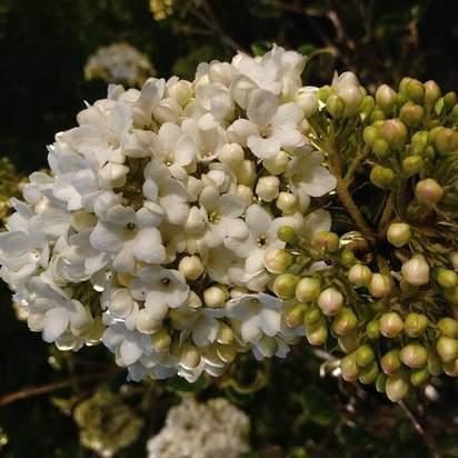 Viburnum opulus bare root 4 white flowers opening