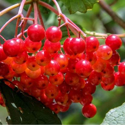 Viburnum opulus bare root 5 red berries translucent