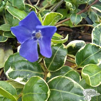 Buy Vinca minor 'Aureovariegata' (Variegated Lesser Periwinkle) online from Jacksons Nurseries