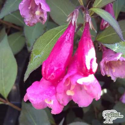 Buy Weigela florida Victoria (Weigela) online from Jacksons Nurseries