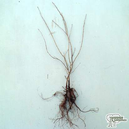 Buy Amelanchier canadensis (Bare Root) in the UK