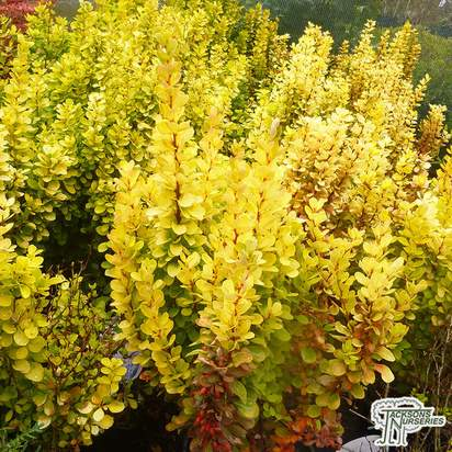 Buy Berberis thunbergii Golden Rocket online from Jacksons Nurseries